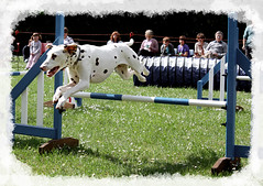 equestrianism(0.0), english riding(0.0), eventing(0.0), dog sports(1.0), animal sports(1.0), jumping(1.0), dog(1.0), sports(1.0), pet(1.0), conformation show(1.0), dog agility(1.0),