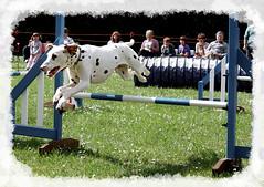 dog sports, animal sports, jumping, dog, sports, pet, conformation show, dog agility,