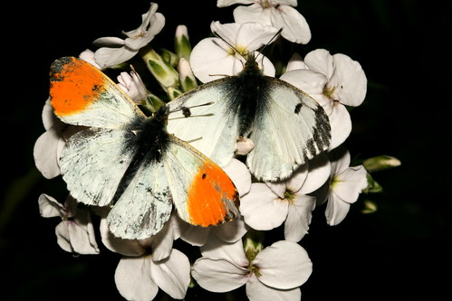 Orange Tip Pair 38045