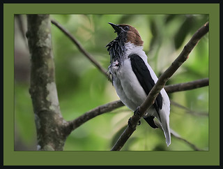 Bearded Bellbird (Procnias averano) male calling