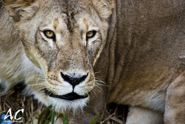 Angry lioness - Leona enojada | Flickr - Photo Sharing!