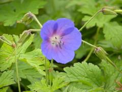 annual plant, geranium, flower, plant, wildflower, geraniaceae,