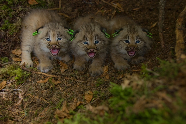 Photo Of The Week Canada Lynx Kittens Flickr Photo