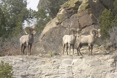goats(0.0), mountain goat(0.0), animal(1.0), sheeps(1.0), sheep(1.0), argali(1.0), mammal(1.0), barbary sheep(1.0), herd(1.0), fauna(1.0), bighorn(1.0), wildlife(1.0),