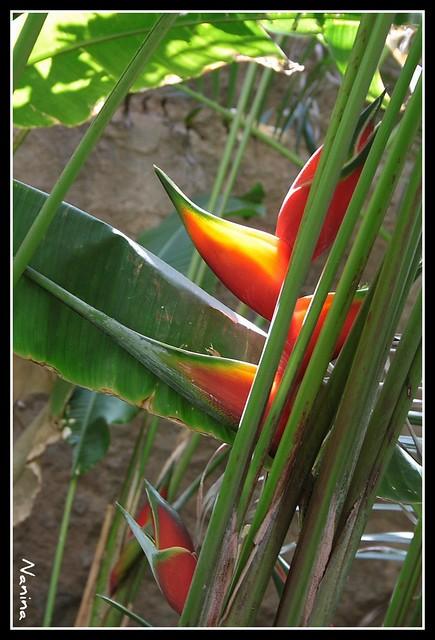 Plantas tropicales flickr photo sharing for Plantas ornamentales tropicales