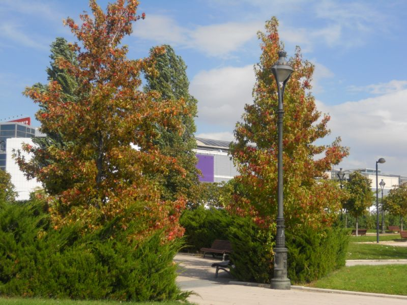 Platanos de oriente en otoño 2