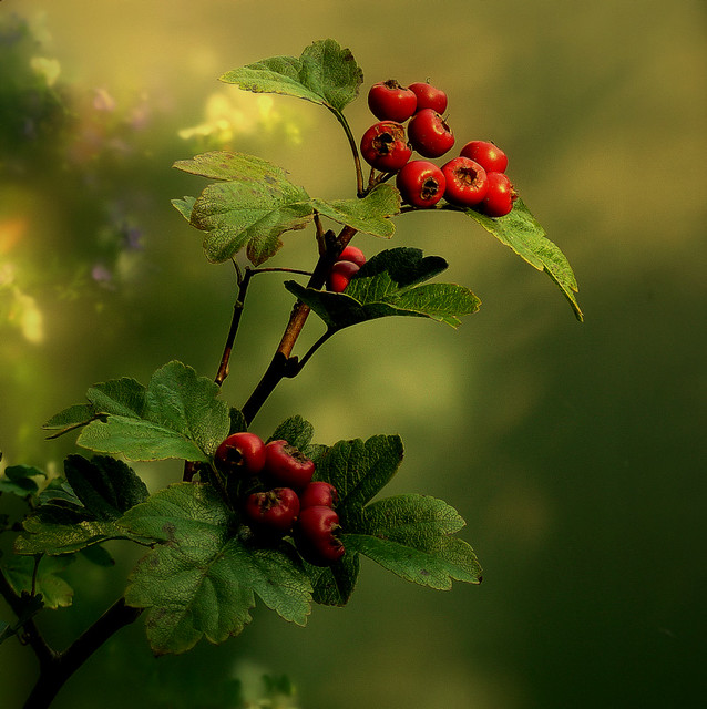 Hawthorn (NL: Meidoorn) (alternative medicine for the heart)