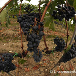 Fisheye View of Sangiovese Grapes - Montalcino, Italy