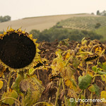 A Lone Sunflower - Torrita di Siena, Italy