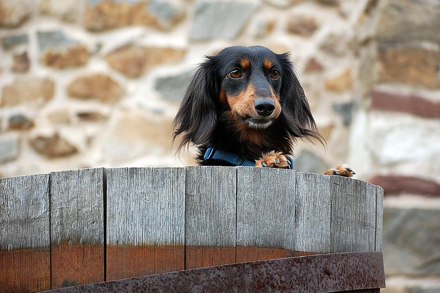 Happy Cute Mini Long Haired Dachshund Puppy
