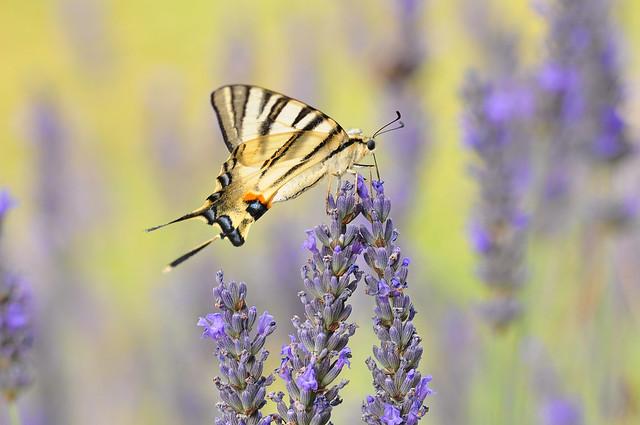 Scarce Swallowtail (Iphiclides podalirius), Nikon D90, Sigma Macro 105mm F2.8 EX DG OS HSM