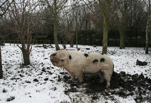 Mudchute City Farm in the snow