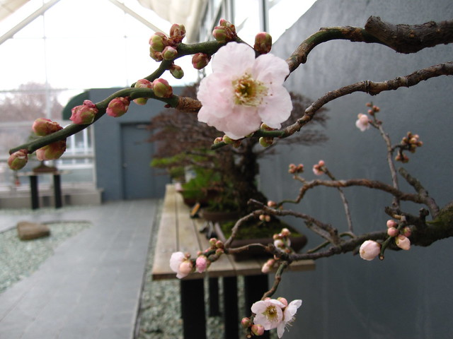 A Japanese Apricot blooms in the Bonsai Museum of the Steinhardt Conservatory. There are many ways of styling or forming Bonsai, this Apricot shows the Bunjin or Literati form.