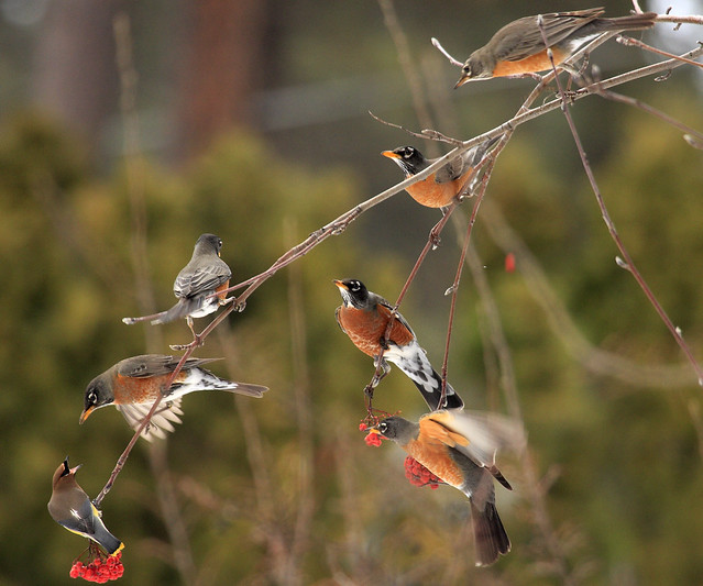 Flock of Robins Plus Waxwing