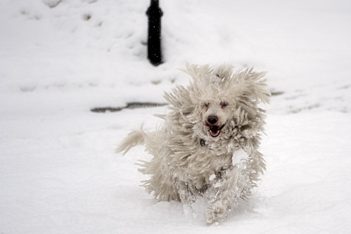 newyorkcity dog snow newyork dreadlocks geotagged jump hungary bronx blizzard mop dreds riverdale spuytenduyvil komondor mudpig stevekelley