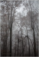 The Art of Trees in Fog