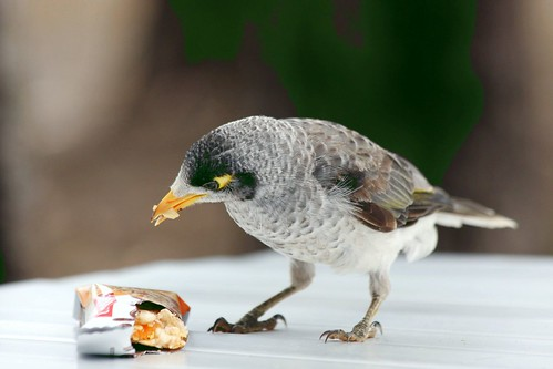 Noisy Miner and my second breakfast!