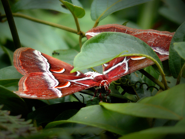 Atlas Moth in Dong Hua Sao National park