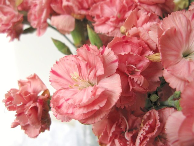 Gorgeous pink carnations in my studio today! | Emma Lamb