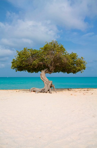 Divi Divi Tree, Eagle Beach Aruba by kslaught21