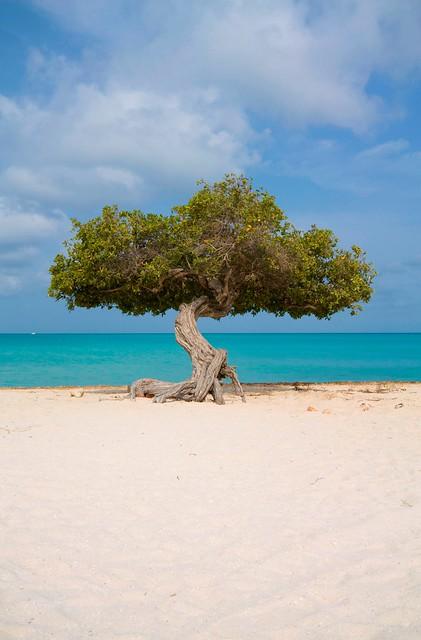 Divi divi tree eagle beach aruba flickr photo sharing - Divi aruba beach ...