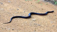 hognose snake(0.0), garter snake(0.0), sidewinder(0.0), anguidae(0.0), animal(1.0), serpent(1.0), soil(1.0), snake(1.0), reptile(1.0), fauna(1.0), scaled reptile(1.0),