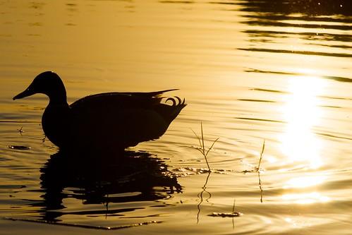 sunset sun reflection bird water animal silhouette duck pond day florida outdoor wildlife mallard ripples backlit staugustine beadsofwater anastasiaisland nikond60 afsdxvrzoomnikkor55200mmf456gifed cuteliltailfeathers