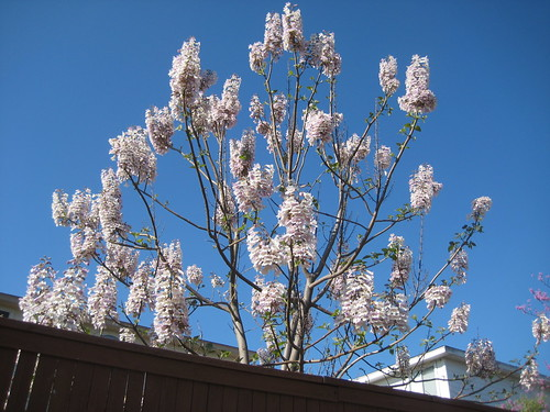 Paulownia, Royal Empress Tree