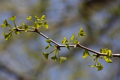 Young ginkgo