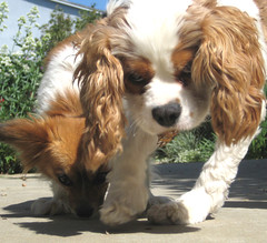 phalã¨ne(0.0), papillon(0.0), dog breed(1.0), animal(1.0), kooikerhondje(1.0), dog(1.0), welsh springer spaniel(1.0), pet(1.0), mammal(1.0), king charles spaniel(1.0), spaniel(1.0), cavalier king charles spaniel(1.0),