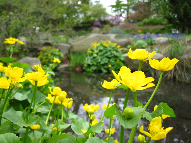 Marsh-Marigold (Caltha palustris) blooms along the Rock Garden pond. Photo by Rebecca Bullene.