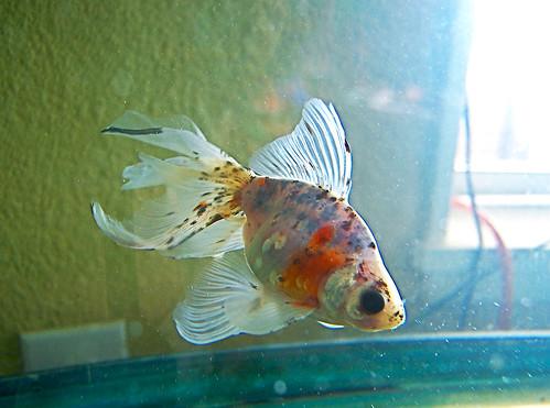 Goldfish #115