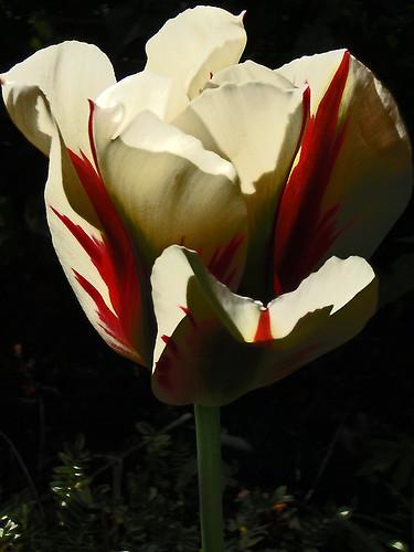 flame tulip in my garden