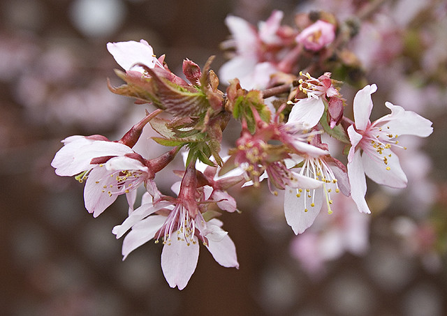 18/52 Prunus Dulcis