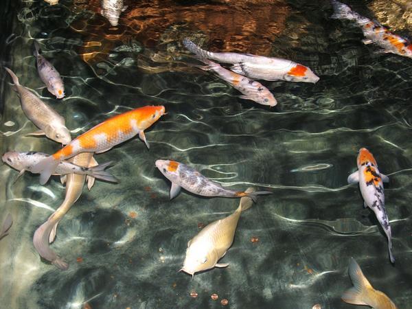 Koi abq aquarium flickr photo sharing for Koi im aquarium