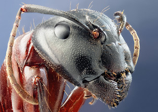 Studio stack: Camponotus herculaneus