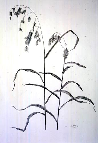 Martha G. Kemp, Chasmanthium latifolium Graphite Pencil, 1/27/03 © Copyright Brooklyn Botanic Garden