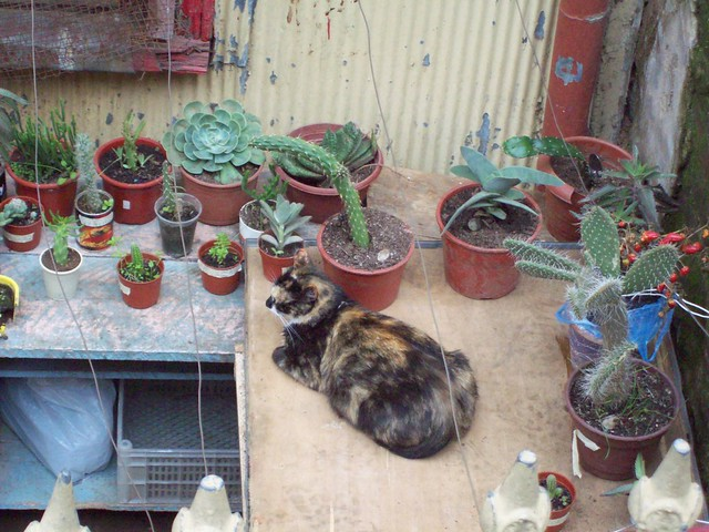 calico with succulents