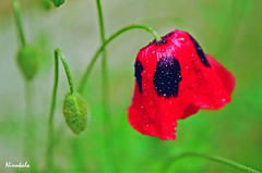 flower, red, plant, nature, macro photography, wildflower, flora, green, produce, close-up, plant stem, petal, poppy,
