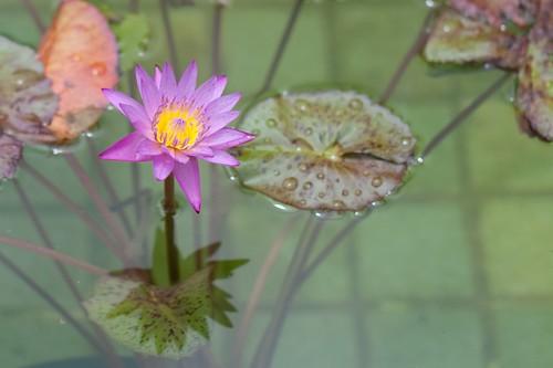 shadow portrait flower water fountain gardens nc lily lotus northcarolina winstonsalem reynoldagardens nymphaeaceae nikonafsnikkor50mmf14g