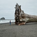 La Push First Beach tree Twilight Series by bike4freedom2