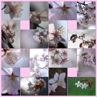 Cherry blossoms 2010_05