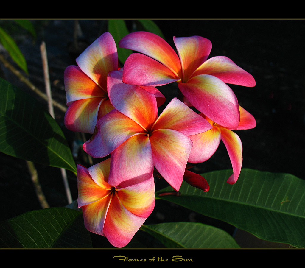 ... Rare Flowers - Plumeria Flames of the Sun  f3d01a0959245