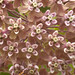 Asclepias syriaca (Common milkweed) macro by jimf_29605