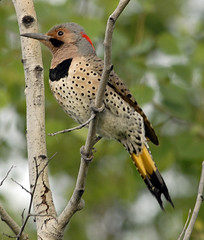 Northern Flicker - White River, Ontario
