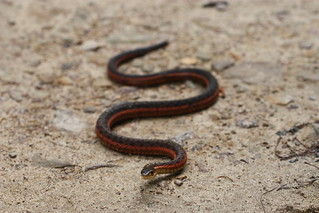 Thamnophis s. sirtalis | by Andy Kraemer