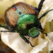 Japanese Beetle - Photo (c) BlueRidgeKitties, some rights reserved (CC BY-NC-SA)