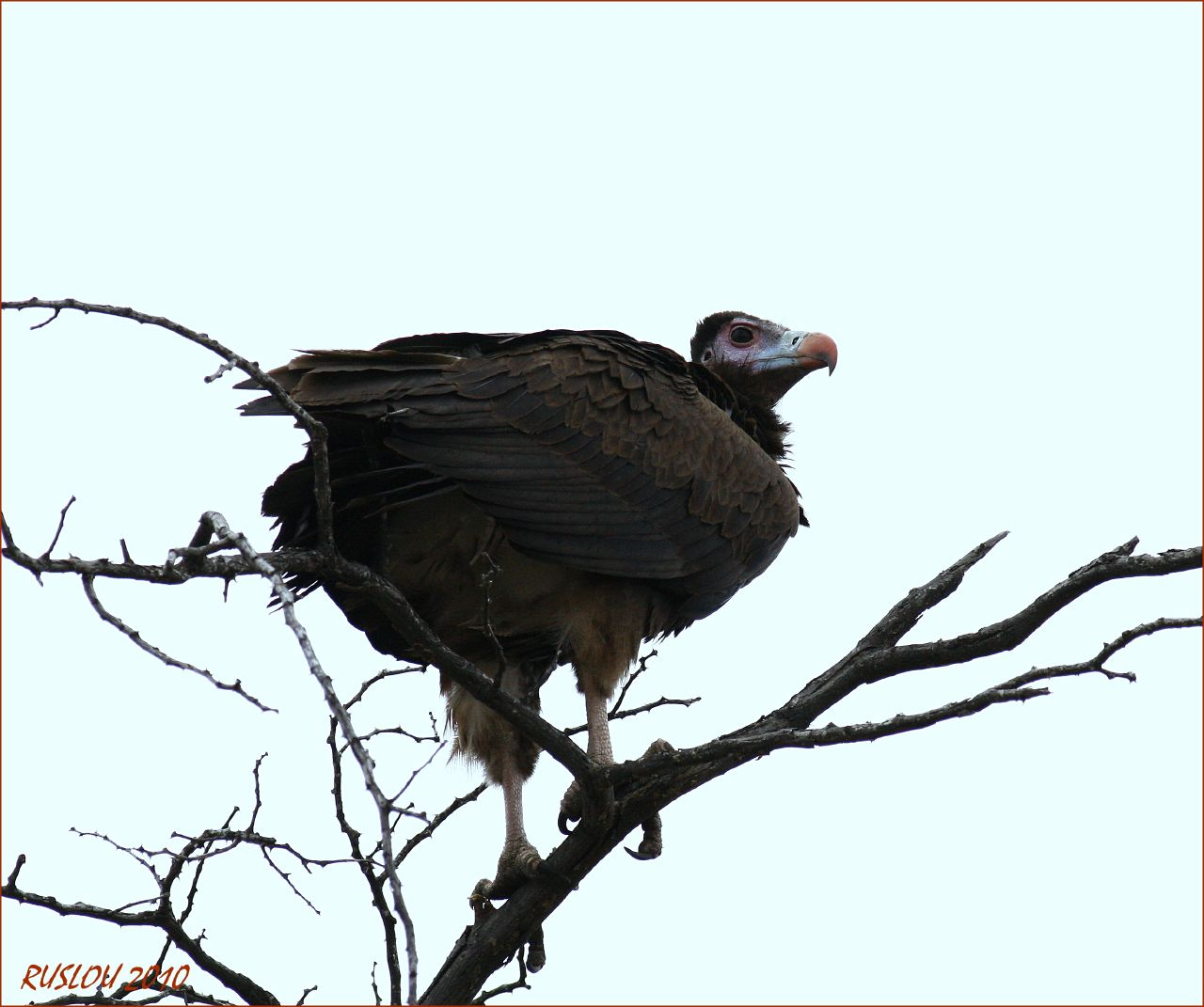 Aegypius Occipitalis Wallpapers White headed Vulture Aegypius