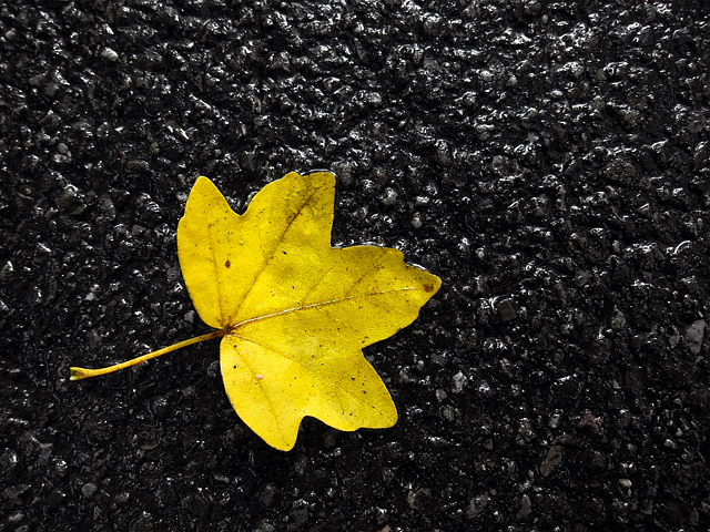 Yellow Leaf - Macro Mode - Canon Powershot s95