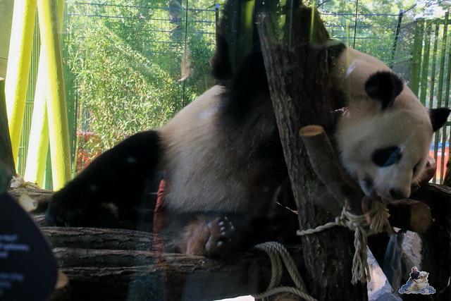 Panda Meng Meng und Jiao Qing im Berliner Zoo 055